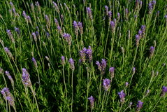 Lavender. Bunch of fresh lavenders and leaves Royalty Free Stock Photos