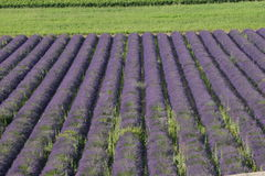 Lavender. A field of lavender in Provence, south of France Royalty Free Stock Photos