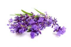 Free Lavender Royalty Free Stock Photos - 29185038