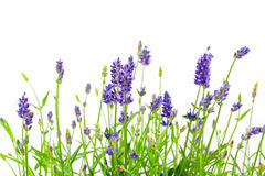 Lavender. Flower of lavender on a white background Royalty Free Stock Photos