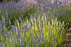 Lavender Stock Image