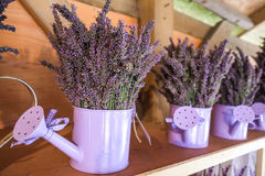 Lavender. Cute lavender in the pots Royalty Free Stock Image