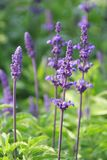 Lavender. In a herbal garden Stock Photography