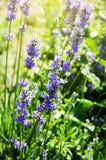 Lavender Στοκ Φωτογραφίες