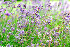 Lavender. Close up of lavender flowers Royalty Free Stock Photos