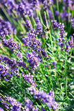 Lavender. Close up of lavender flowers Stock Photography