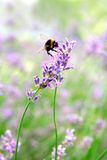 Lavender. Close up of lavender flower with bee Royalty Free Stock Photo