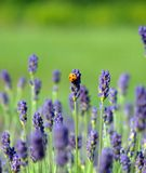 Lavender. In a garden with a yellow ladybug on Stock Photography