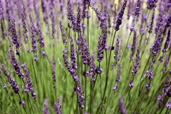 Lavender. Field with blur background Royalty Free Stock Photo