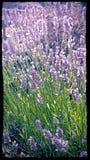 Lavender Στοκ εικόνα με δικαίωμα ελεύθερης χρήσης