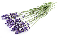 lavender Στοκ Εικόνες