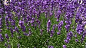 Lavender απόθεμα βίντεο