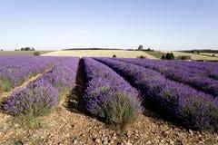 Lavender. France provence lavender fields  provence alpes du de haute provence Royalty Free Stock Photo
