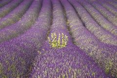 Lavender. France provence lavender fields  provence alpes du de haute provence Stock Image