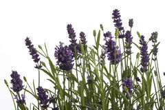 Lavender. Isolated on white background Royalty Free Stock Photography