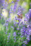 Lavender. A bumblebee on a lavender Stock Photography