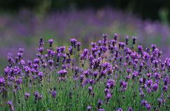 Lavender. Field Royalty Free Stock Photos