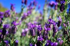 Lavender. Growing in tasmania, australia Stock Photography