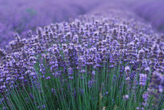 Lavender Stock Images