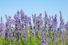 Lavender. With blue Stock Photography