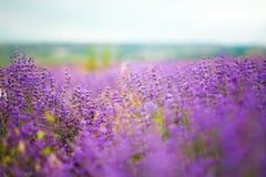 Lavender Στοκ Εικόνα