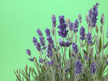 Lavender. Bunch of fresh lavender isolated on green Stock Photo