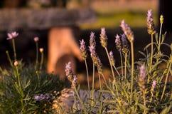 Lavender Στοκ φωτογραφία με δικαίωμα ελεύθερης χρήσης