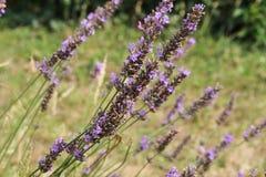 Lavender Στοκ εικόνες με δικαίωμα ελεύθερης χρήσης