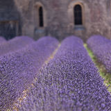 Lavender abbey in Senanque, Provence, France. Abbey of Senanque and blooming rows lavender flowers. Gordes, Luberon, Vaucluse, Provence, France, Europe Royalty Free Stock Image