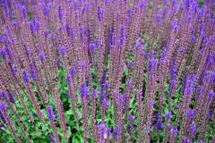 Lavender. Abstract lavender flowers on a meadow Stock Images
