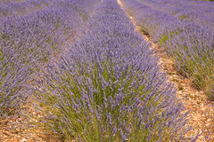 Lavender abstract Royalty Free Stock Photo