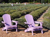 Lavender Adirondack Chairs in a Lavender Garden Royalty Free Stock Photography