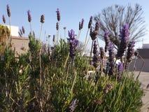 Lavender Aegean Coast Didim Stock Images