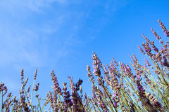 Lavender against the sky Royalty Free Stock Photography