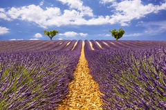 Lavender aisles with two trees on the horizon Royalty Free Stock Photography