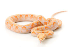 Lavender Albino Reticulated Python Royalty Free Stock Images