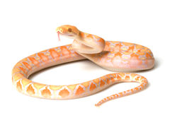Lavender Albino Reticulated Python Stock Images