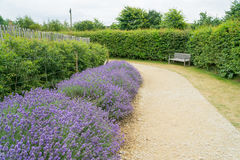 Lavender along a pathway stock photography
