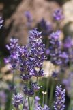 Lavender, angustifolia Lavandula, λουλούδια στη μακροεντολή μίσχων με το υπόβαθρο bokeh, εκλεκτική εστίαση, ρηχό DOF Στοκ Φωτογραφίες
