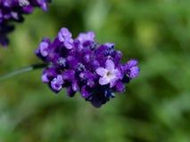 Lavender, angustifolia Lavandula, λουλούδια στη μακροεντολή μίσχων με το υπόβαθρο bokeh, εκλεκτική εστίαση, ρηχό DOF Στοκ Φωτογραφία