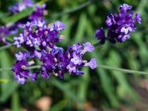 Lavender, angustifolia Lavandula, λουλούδια στη μακροεντολή μίσχων με το υπόβαθρο bokeh, εκλεκτική εστίαση, ρηχό DOF Στοκ Εικόνα