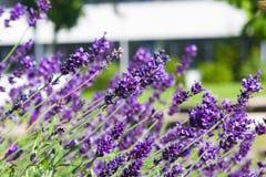 Lavender, angustifolia Lavandula, λουλούδια στη μακροεντολή μίσχων με το υπόβαθρο bokeh, εκλεκτική εστίαση, ρηχό DOF Στοκ εικόνα με δικαίωμα ελεύθερης χρήσης