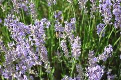 Lavender angustifolia Lavandula Στοκ εικόνες με δικαίωμα ελεύθερης χρήσης