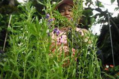 LAVENDER ANTI MOSQUITO PLANT SELLER Royalty Free Stock Photos
