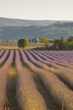 Lavender of apt Stock Photo