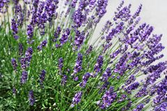 Lavender aroma Stock Images