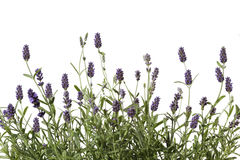 Lavender. Aromatic bunch of lavender isolated on white Stock Image