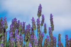 Lavender aromatic flowers, cultivation of lavender plant used as. Lilac lavender aromatic flowers, cultivation of lavender plant used as health care, skin care stock images