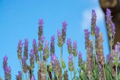 Lavender aromatic flowers, cultivation of lavender plant used as. Lilac lavender aromatic flowers, cultivation of lavender plant used as health care, skin care stock photo