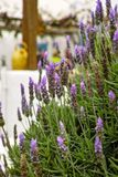 Lavender aromatic flowers, cultivation of lavender plant used as. Lilac lavender aromatic flowers, cultivation of lavender plant used as health care, skin care stock photography